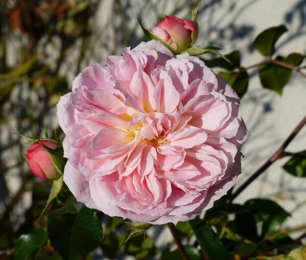 Rosa 'Pirouette ™'