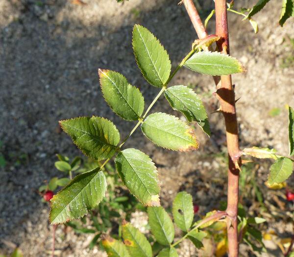 Rosa carolina L.