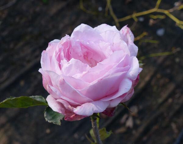 Rosa 'Spenser'