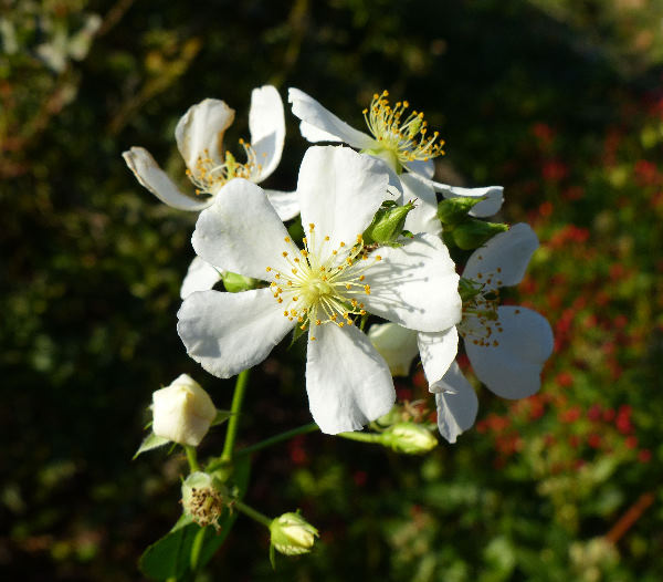 Rosa multiflora Thunb. 'Nana'