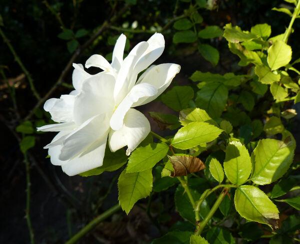 Rosa 'Schneeflocke'