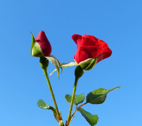 Rosa 'Alpenglühen ®'