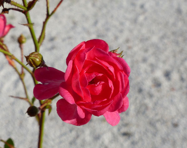Rosa 'Lovely Fairy ®'