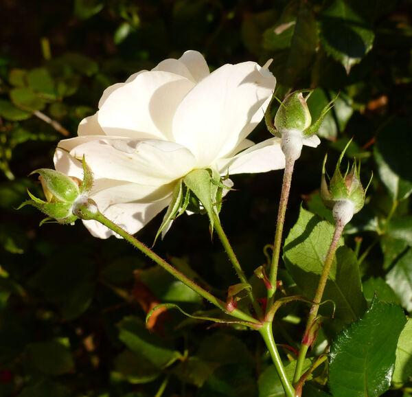 Rosa 'Primo Passo ®'