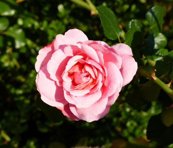 Rosa 'Altair ®'
