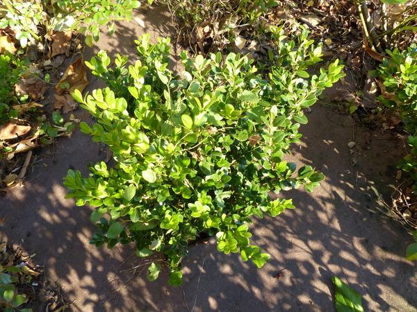 Buxus microphylla Siebold & Zucc. 'Faulkner'