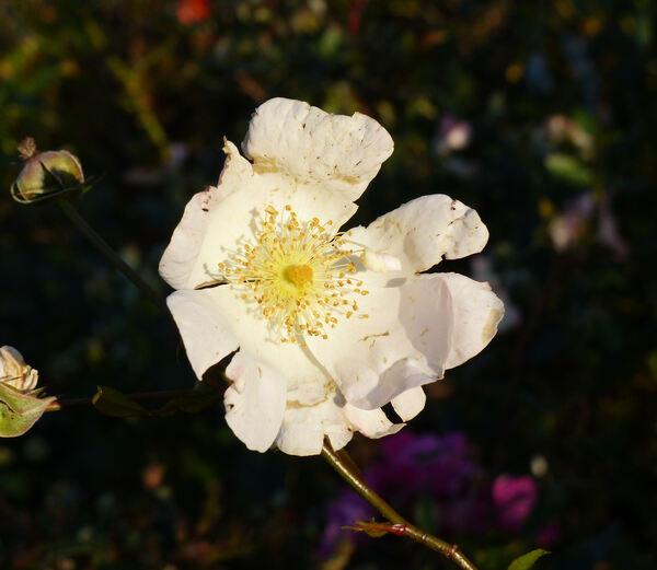Rosa 'Pierre Gagnaire ®'