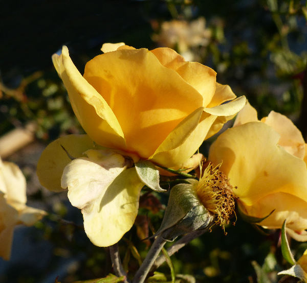 Rosa 'Jonise ®'