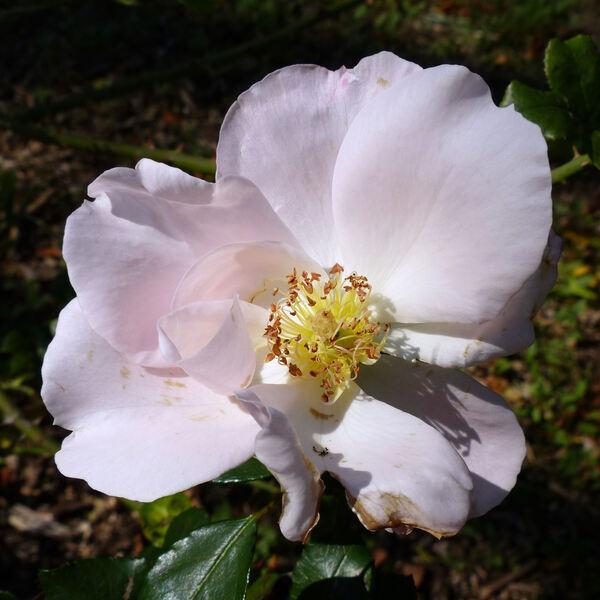 Rosa 'Vogelpark Walsrode ™'