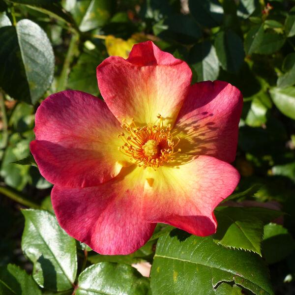 Rosa 'Kampaÿ ®'