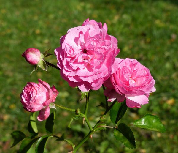 Rosa 'Minnehaha'