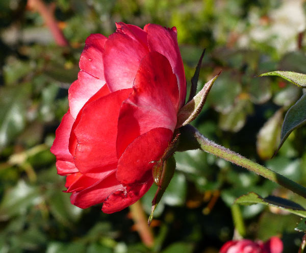 Rosa 'Planten en Blomen'