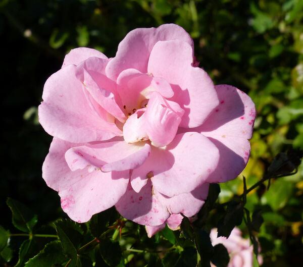 Rosa 'Sommermorgen ®'