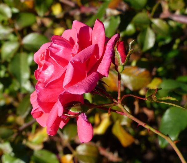 Rosa 'Bad Birnbach ®'