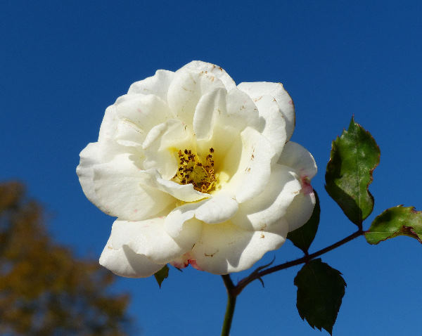 Rosa 'Ivory Compact Meidiland'