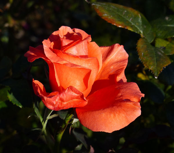 Rosa 'Song And Dance'