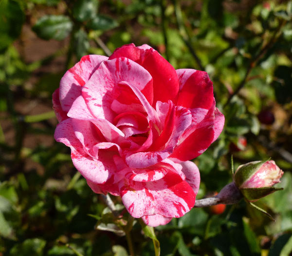 Rosa 'Dispetto ®'