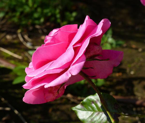 Rosa 'Lady Like'