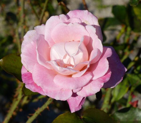 Rosa 'Aquarius'
