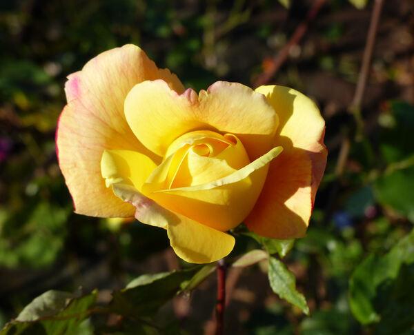 Rosa 'Sutter's Gold'