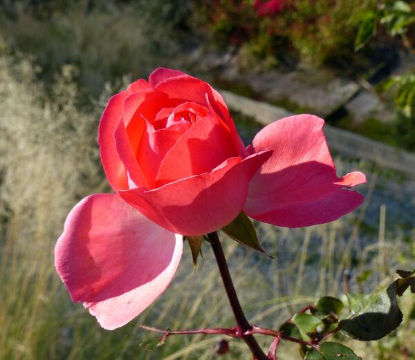 Rosa 'Carla'