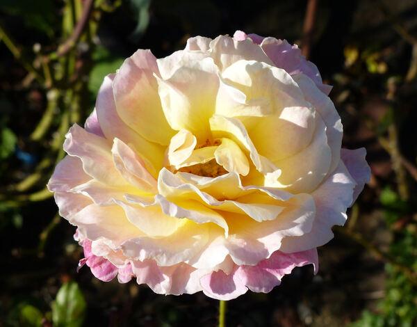 Rosa 'Pepe'