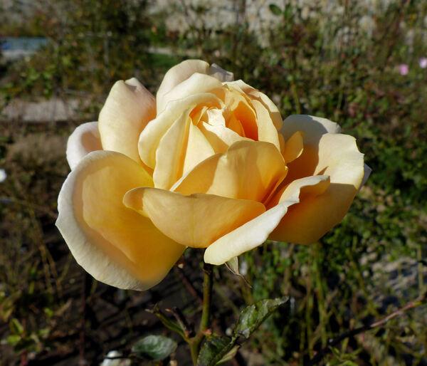 Rosa 'Luis Brinas'
