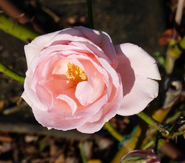 Rosa 'Peter Frankenfeld ®'