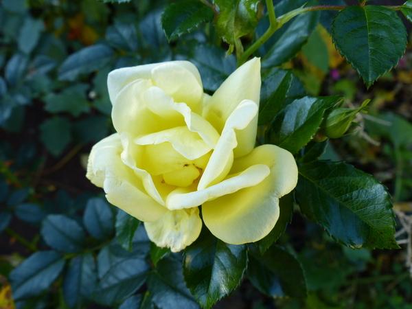 Rosa 'Loredo ®'