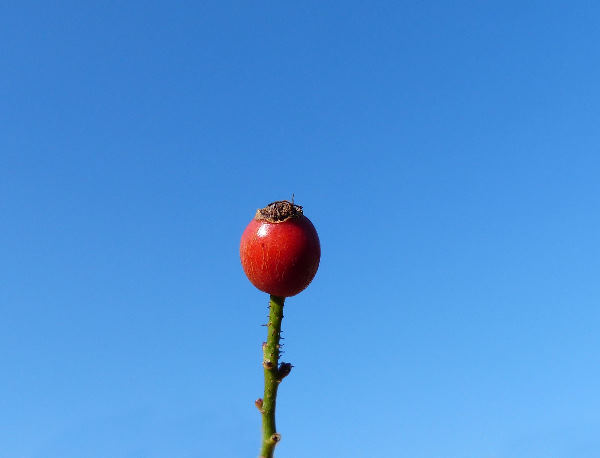 Rosa 'Lupo ®'
