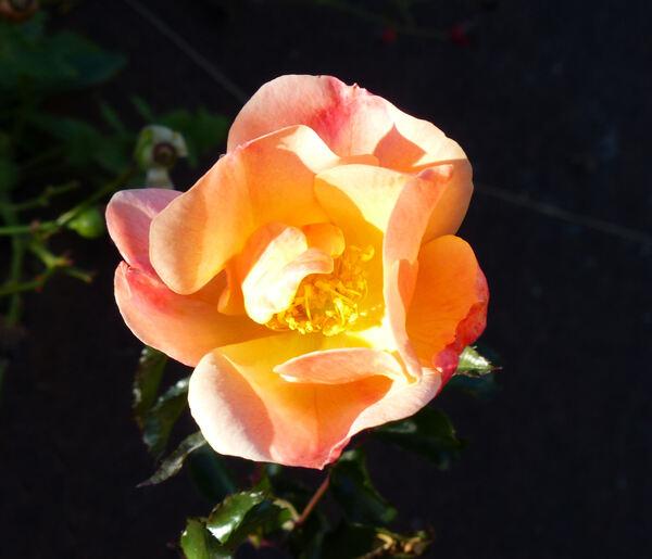 Rosa 'Jazz ®'