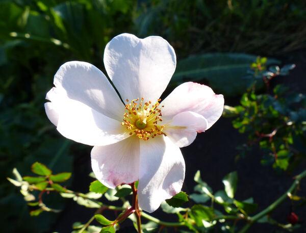 Rosa 'Cute Haze ®'