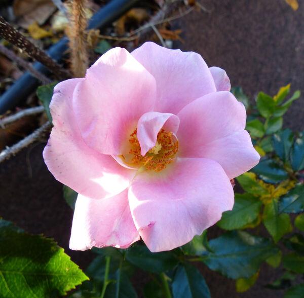 Rosa 'Limeszauber ®'