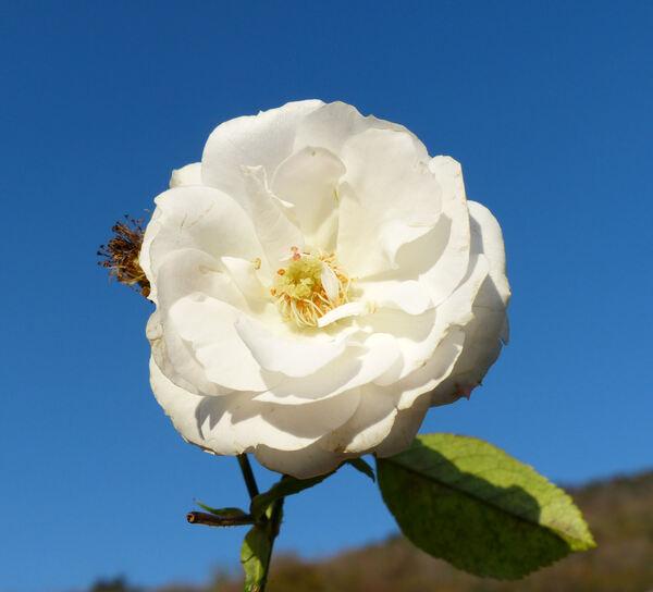 Rosa 'Blanche Cascade ®'