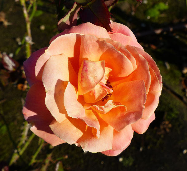 Rosa 'Lincoln Cathedral'