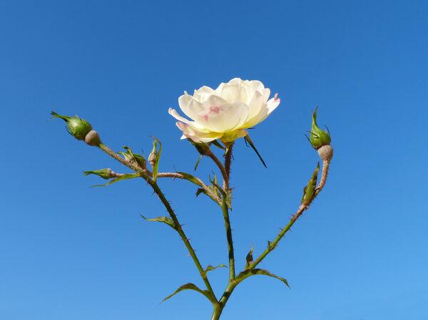 Rosa 'Ivory'