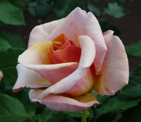 Rosa 'Princess Royal'