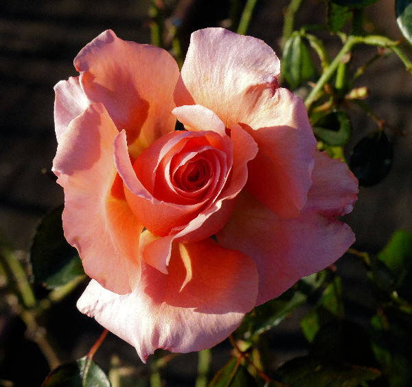Rosa 'Exotic ®'