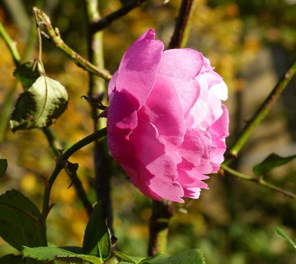 Rosa 'Louise Odier'