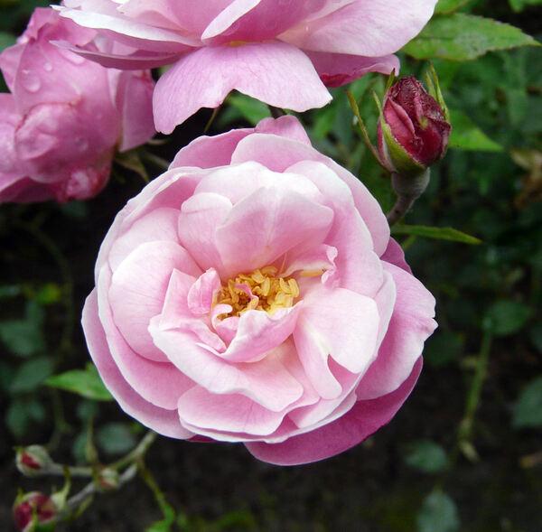 Rosa 'Bengale Commun'