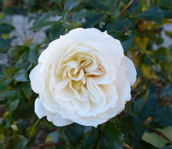 Rosa 'Niso Fumagalli ®'
