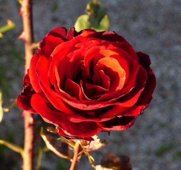 Rosa 'Barkarole ®'