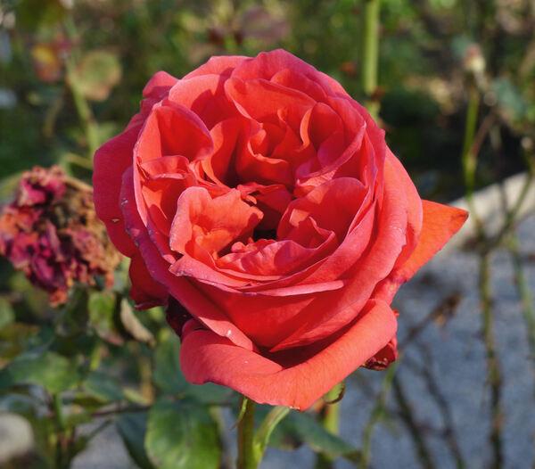 Rosa 'Tábortûz'