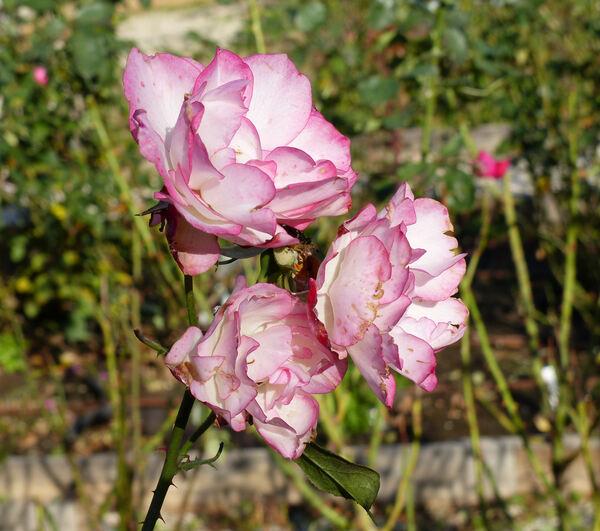 Rosa 'Souvenir de Louis Amade ®'