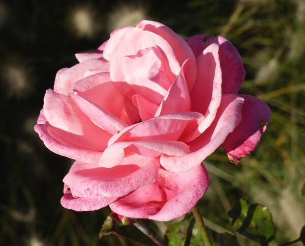 Rosa 'Pink Perpétué'