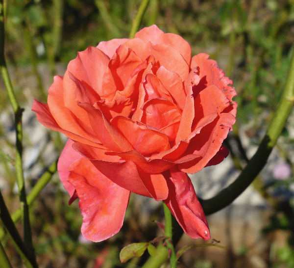 Rosa 'Marvel ™'
