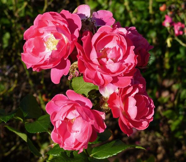 Rosa 'Bordure Magenta ®'