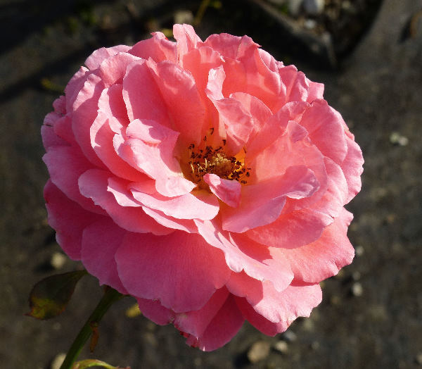 Rosa 'Polynesian Sunset'