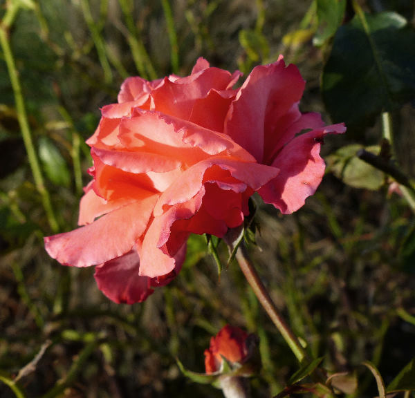 Rosa 'Florine'