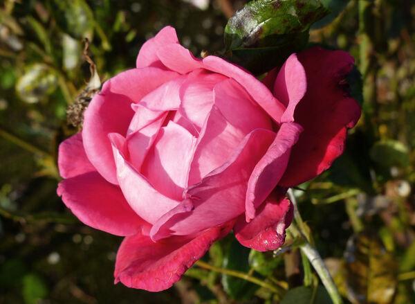 Rosa 'Tallulah'